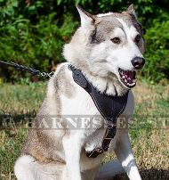 Leather Dog Harness for West Siberian Laika, Protection & Safety