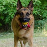 Rubber Dog Ball on Rope for German Shepherd Training