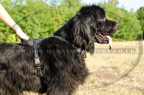 Newfoundland with padded dog harness