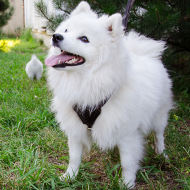 Small Dog Harness for Japanese Spitz, Soft Leather Padded