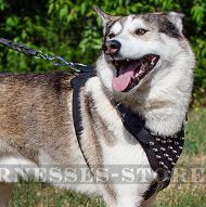 Spiked Dog Harness for West Siberian Laika, Padded