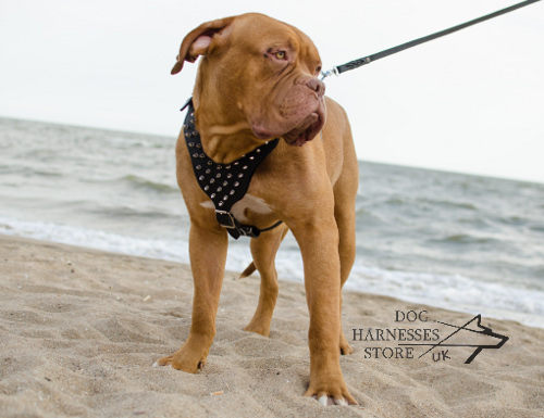 Harness for Dogue de Bordeaux