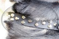 Studded Dog Collar with Nickel Pyramids for Swiss Mountain Dog