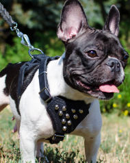 Bestseller! Small Dog Harness with Pyramids for French Bulldog
