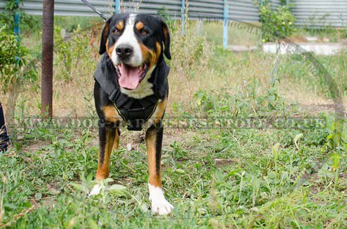 Swiss Mountain Dog Pulling Harness