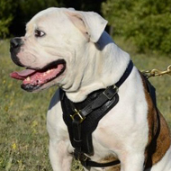 Large Leather Dog Harness with Felt-Lined Chest for Ambulldog