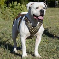 Walking Harness for American Bulldog with Brass Studded Chest