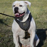American Bulldog Harness Royal Studded and Nappa Padded