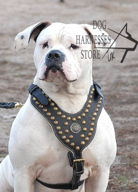 American Bulldog Harness with Studs