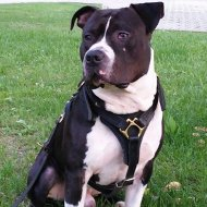 Amstaff Harness of Leather for Walking, Tracking and Training