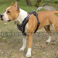 Amstaff Harness of Natural Leather with Stylish Spikes on Chest