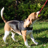Beagle Training Toys