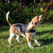 Solid Dog Ball on String for Interactive Games with Beagle