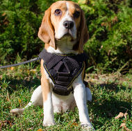 Best Beagle Harness of Waterproof Nylon with Padded Chest Plate
