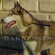 Best Dog Collar for Siberian Husky Safe Obedience Training