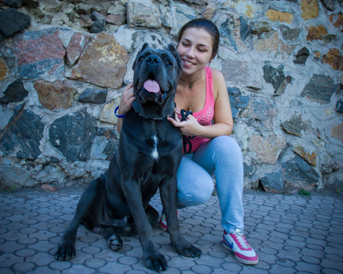 Cane Corso with