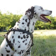 Luxury Padded Dalmatian Harness for Puppies