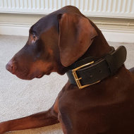 Doberman Pinscher Leather Collar Double Thick for Strong Dogs