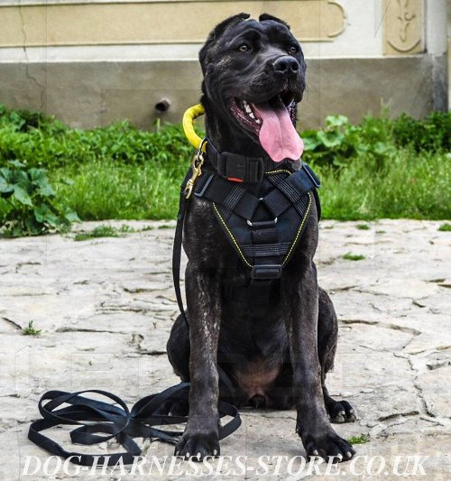 American Bandogge Harness and Collar UK