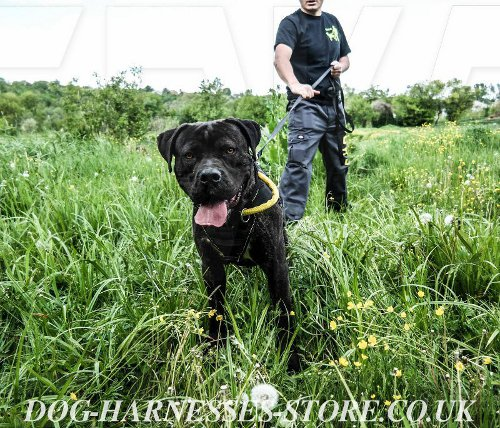 Bandogge Mastiff Harness and Collar UK