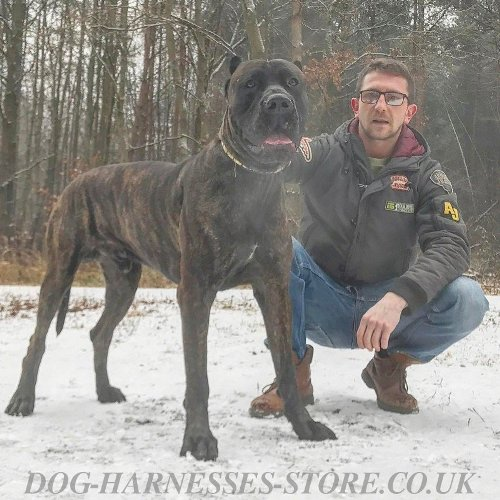 American Bandogge Mastiff, Dog Collar