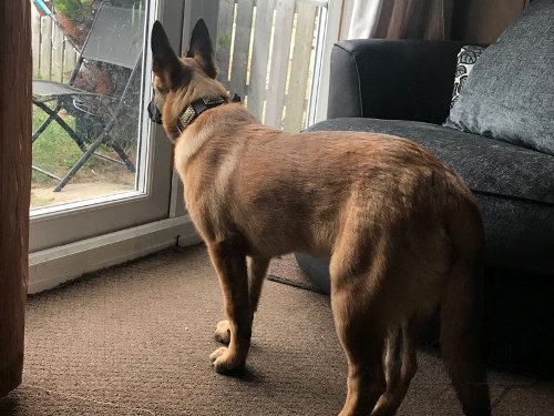 Belgian Malinois Leather Collar