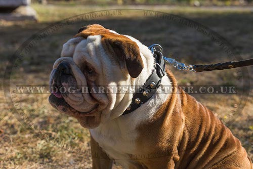 Btitish Bulldog Collar UK
