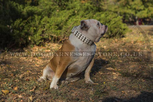 British Bulldog Collars UK White