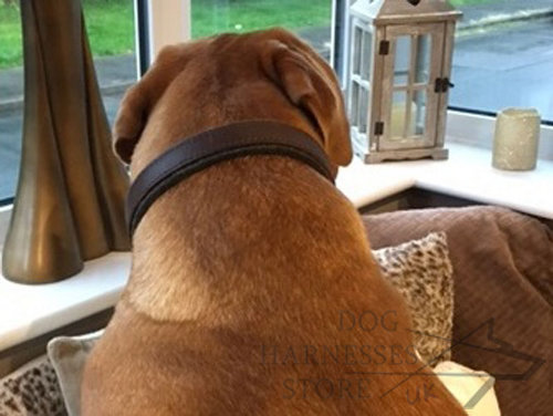 Collar for Dogue de Bordeaux