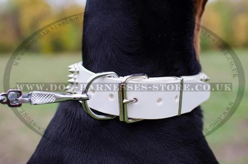 Doberman Pinscher with Spiked Collar