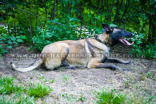 Dog Collar for Belgian Malinois