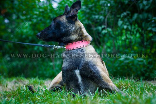 Female Malinois Collar