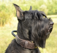 leather dog collar for riesenschnauzer