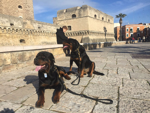 Rottweiler Collars and Leashes UK