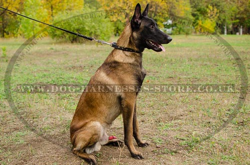 Spiked Dog Collar for Belgian Malinois