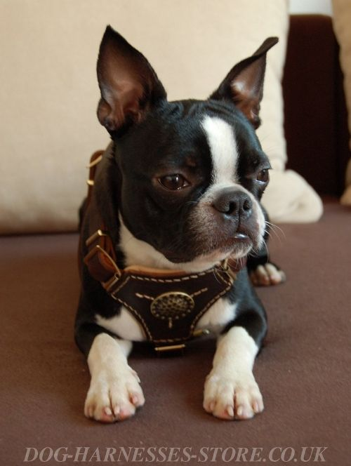 Boston Terrier Harness UK