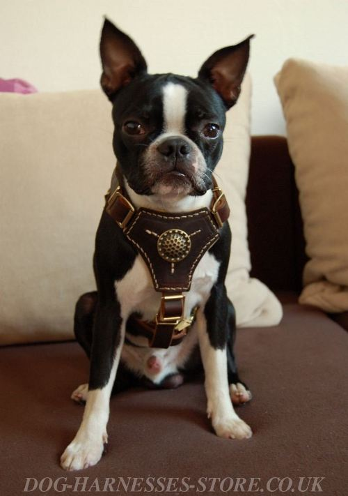 Harness for Boston Terrier