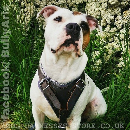 American Bulldog Harnesses UK