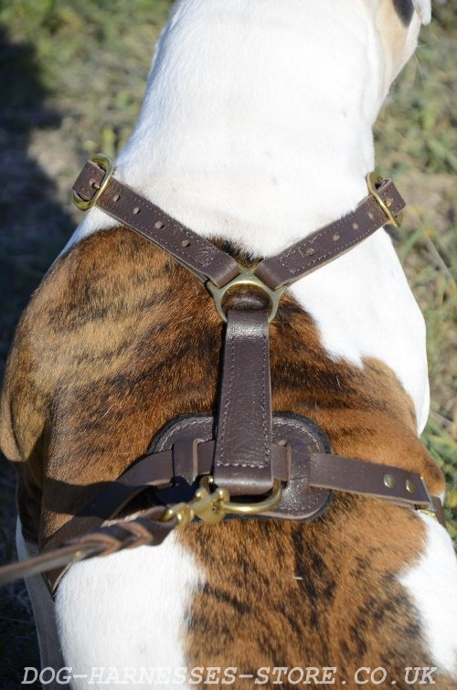 English Bull Terrier Harness for Sale
