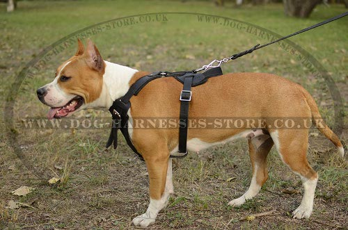 Amstaff Dog Harness UK