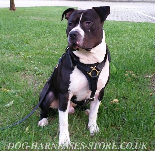 Amstaff Harness UK