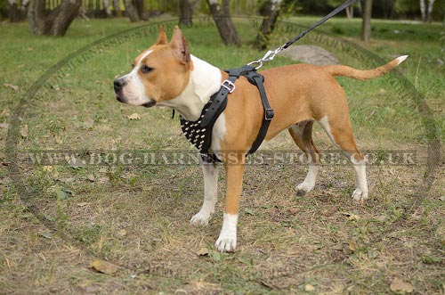 Amstaff Harness UK Spiked