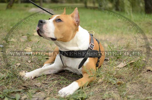 Amstaff Weight Pulling Harness UK