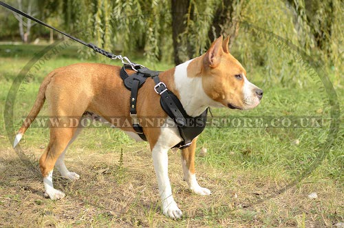 Amstaff Working Dog Harness UK