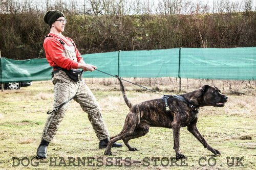 Bandogge Mastiff Harness