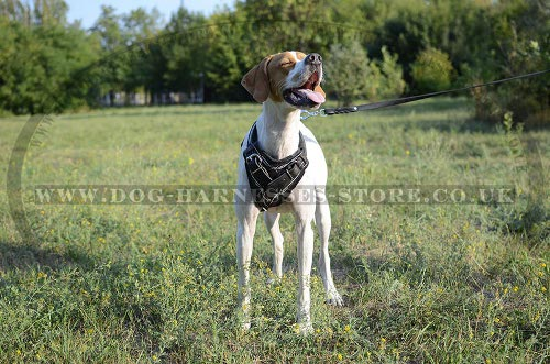 English Pointer Harness UK Exclusive