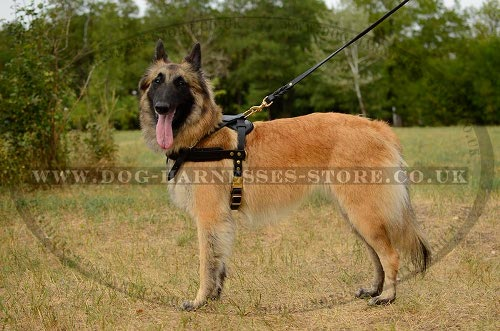 Belgian Tervuren Dog Harness