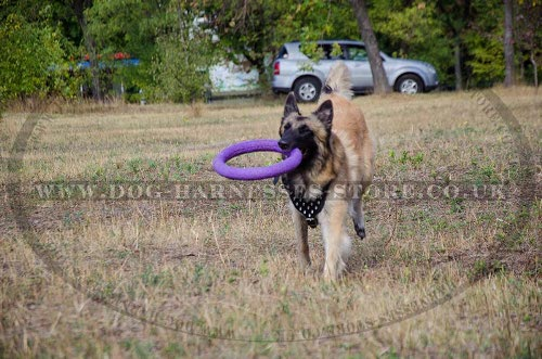 Belgian Tervuren Dog Training with Harness