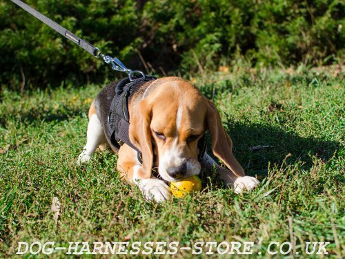 Best Beagle Harness