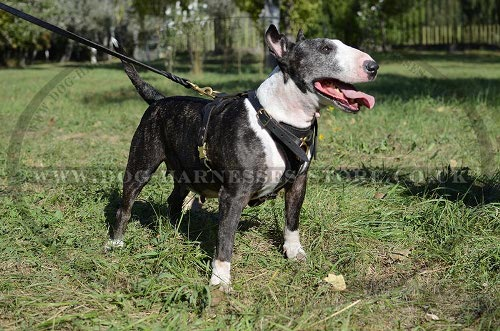 Best Harness for Bull Terrier